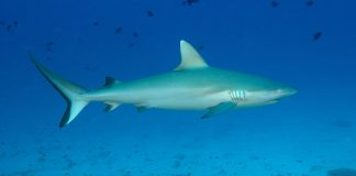 Mesmerizing sharks found in Constance Moofushi